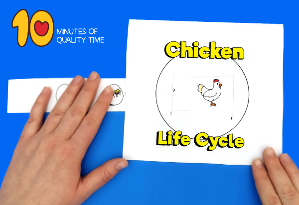 life cycle of a chicken for kids