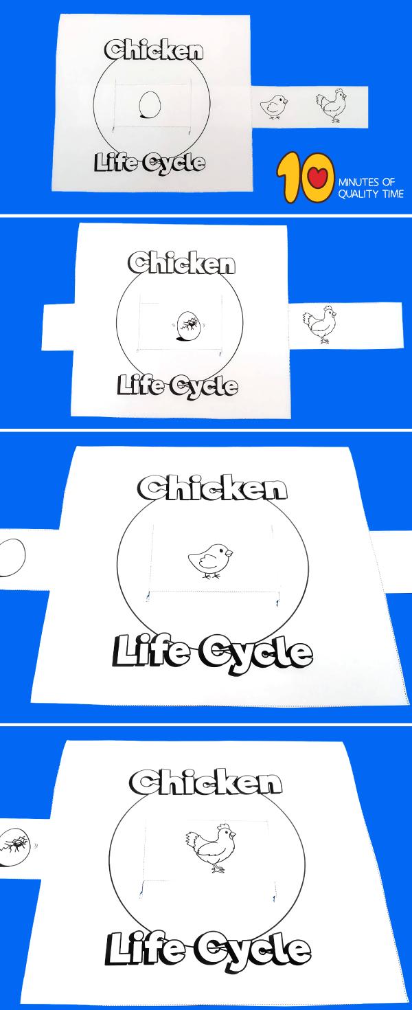 chicken life cycle kindergarten